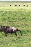 Antelope gives a new life. The birth of a cub. NgoroNgoro, Tanzania. Africa stock image
