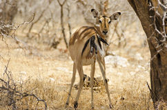 Antelope giving birth. Impala giving birth in Ruaha National Park, Tanzania Royalty Free Stock Image