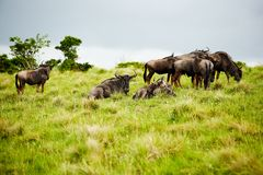 Antelope gnu Stock Images