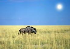 Antelope gnu Stock Photo