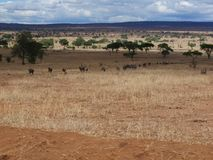 Antelope Gnu in Africa safari Tarangiri-Ngorongoro. Antelope Gnu in Tarangiri-Ngorongoro Africa Safari, Antelope Gnu safari, savannah, wildebeest wildlife in Stock Photo