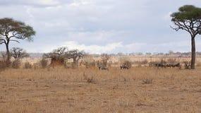 Antelope Gnu in Africa safari Tarangiri-Ngorongoro. Antelope Gnu in Tarangiri-Ngorongoro Africa Safari, Antelope Gnu safari, savannah, wildebeest wildlife in Royalty Free Stock Photos
