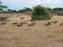 Antelope Gnu in Africa safari Tarangiri-Ngorongoro. Antelope Gnu in Tarangiri-Ngorongoro Africa Safari, Antelope Gnu safari, savannah, wildebeest wildlife in Stock Photography