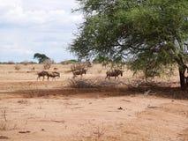 Antelope Gnu in Africa safari Tarangiri-Ngorongoro. Antelope Gnu in Tarangiri-Ngorongoro Africa Safari, Antelope Gnu safari, savannah, wildebeest wildlife in Royalty Free Stock Photography