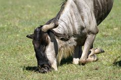 Antelope Gnu is on his knees. Eats grass. Big horns. The wildebeests, also called gnus, are a genus of antelopes. They belong to the family, which includes Royalty Free Stock Photos