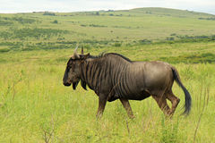 Antelope gnu, Safari park in South Africa. Wildebeest in Tala Game Reserve, South Africa Stock Photos