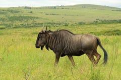 Antelope gnu, Safari park in South Africa Stock Photos