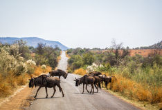 Antelope gnu. In South African reserve Royalty Free Stock Photography