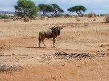 Antelope Gnu in Africa safari Tarangiri-Ngorongoro. Antelope Gnu in Tarangiri-Ngorongoro Africa Safari, Antelope Gnu safari, savannah, wildebeest wildlife in Royalty Free Stock Images