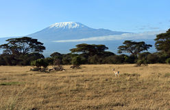 Antelope Grant in Kenya royalty free stock photo