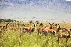 Antelope in grass Stock Image