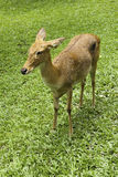 Antelope on the grass Royalty Free Stock Photo