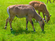 Antelope grazing in field. Two female Antelope grazing in field Royalty Free Stock Photo