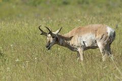 Antelope grazing. Royalty Free Stock Images