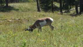 Antelope Grazing in a green field stock video footage