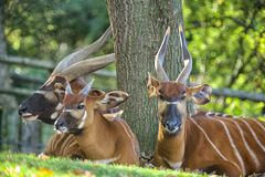 Antelope Stock Images