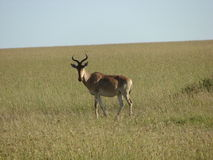 Antelope. Grownup Antelope Watching cautiously and hearing for any abnormal noise Stock Image