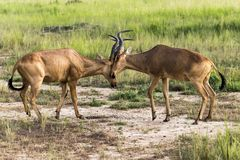 2 Antelope Hartebeest African Antelope fighting in Murchison Falls National Park, Uganda stock photography
