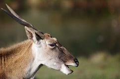 Antelope Head Stock Images
