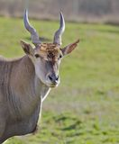 Antelope Head green field Royalty Free Stock Images