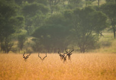 Antelope heads with horns in big african grass Royalty Free Stock Photo