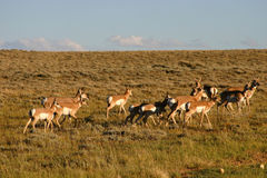 Antelope Herd Stock Images