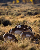 Antelope Herd. Small antelope herd or harm. One buck and four females Stock Photos
