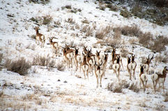 Antelope Herd on Snow Covered Hill Royalty Free Stock Images