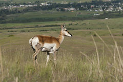 Antelope on hill. Stock Photography