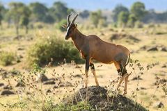 Antelope on the hillock in the savannah. Antelope standing on a hillock as a watcher in the savannah royalty free stock photo