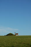 Antelope on horizon. Single antelope (buck) on horizon with bush in distance and blue sky behind Royalty Free Stock Photo
