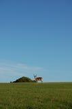Antelope on horizon royalty free stock photo