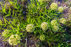 Antelope Horns (Asclepias asperula) Milkweed Wildflower. Antelope Horns (Asclepias asperula) or Green-Flowered Milkweed Wildflower in Texas stock images