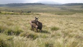 Antelope at Horton Plains Stock Image