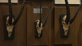 Antelope Hunting Trophy. A collection of anetelope skuls on the wall mounted as decorative hunting trophy stock video footage