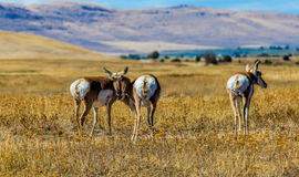 Antelope. This image shows three pronghorn antelope with one checking me out at the National Bison Range in NW Montana Stock Image