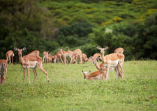 Antelope impala Royalty Free Stock Images