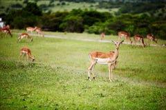 Antelope impala Stock Images