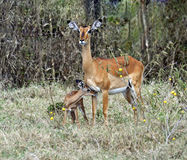Antelope Impala in the savannah royalty free stock photography