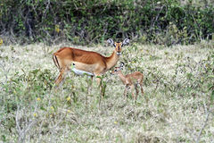 Antelope Impala in the savannah stock images
