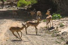 antelope Impala in Tanzania stock image