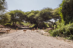 Antelope Impala in Tanzania Stock Photography
