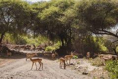 Antelope Impala in Tanzania royalty free stock photo