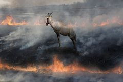 Free Antelope In Fire Land Royalty Free Stock Photography - 144236237