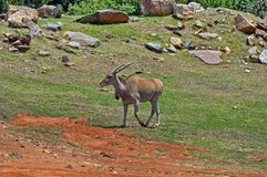 Antelope in Johannesburg zoo Royalty Free Stock Photography