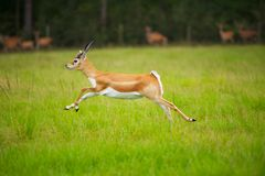 Antelope Jumping. Female African Antelope mid Stride in grassy field Stock Image