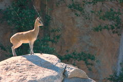 Antelope. A juvenile antelope looking far out to the vast African plains Stock Photos