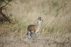 Antelope. A juvenile antelope looking lost in the vast African plains Royalty Free Stock Photography