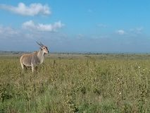 Antelope in Kenya, Masai Mara stock photography