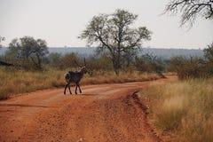Antelope Kruger National Park Royalty Free Stock Image